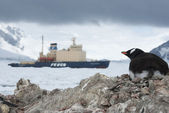 Guest in Antarctica, Gentoo penguin looking at ice-breaker. — Fotografia Stock