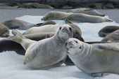 Herd crabeater seals on the ice. — Zdjęcie stockowe