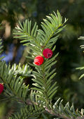 Sprig of yew (Taxus baccata) with red berries. — Stock fotografie