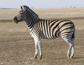 The male zebra Chapman in Ukrainian steppes. — Stock Photo