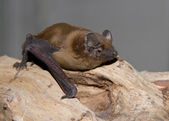 Noctule redhead sitting on a tree branch. — Stock Photo