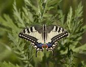 Swallowtail feeding on a meadow. — Stock Photo