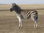 The zebra Chapman in autumn steppes. — Stock Photo