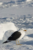 Dominican gull sitting on the ice. — Stockfoto