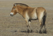 Young Przewalski horse in steppe. — Stock Photo