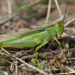 Green grasshopper on a meadow. — Stock Photo
