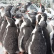 Kindergarten gentoo penguin chicks. — Stock Photo