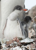 Gentoo penguin (Pygoscelis papua) chick in the nest. — Stockfoto