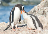 Adult gentoo penguin feeding chick. — Stock fotografie