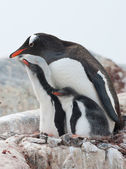 Female Gentoo penguins and two chicks. — Zdjęcie stockowe