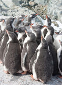 Kindergarten gentoo penguin chicks. — Stockfoto