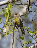 Male greenfinches sitting on birch. — Stock Photo