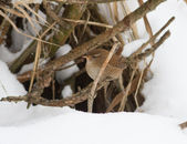 Troglodytes (wren) on a dry branch in winter. — Stock Photo