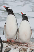 Adult gentoo penguin couple. — Stock Photo