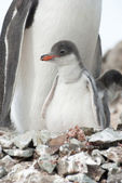 Gentoo penguin (Pygoscelis papua) chick. — Stock Photo