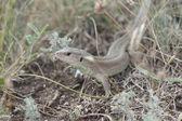 Lizard (Lacerta agilis) in summer steppe. — Stock Photo