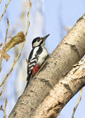 Male Syrian woodpecker on a tree trunk. — Stock Photo