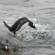 Gentoo penguin before jumping into the water. — Stock Photo