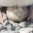 Stock Photo: Adelie penguin chicks hatching.
