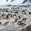 Stock Photo: Colony of Adelie penguins.
