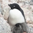Stock Photo: Family Adelie penguins.
