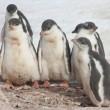 Stock Photo: Kindergarten Gentoo penguins.