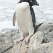 Adelie penguin standing on a rock. — Stock Photo