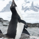 Screaming Adelie Penguin in the nest. — Stock Photo