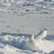 A pair of white snowy plover in Antarctica. — Stockfoto