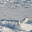 A pair of white snowy plover in Antarctica. — Stock Photo