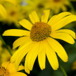 Yellow flowers on a summer day. - Stockfoto