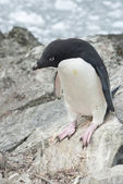 Adelie Penguin before you leap. — Stock Photo