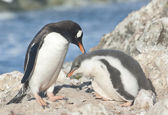 Adult gentoo penguin and chick. — Stockfoto
