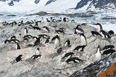 Colony of Adelie penguins. — Foto Stock