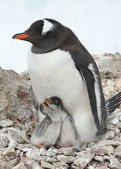 Gentoo penguin female sitting on the nest. — Foto de Stock