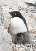 Family Adelie penguins. — Stockfoto