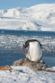 Gentoo penguin on the background of the ocean. — Stock fotografie