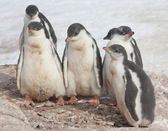 Kindergarten Gentoo penguins. — Foto Stock
