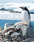 Male and female Gentoo penguins near the nest. — ストック写真