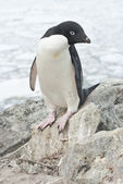 Adelie penguin standing on a rock. — Photo