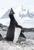 Screaming Adelie Penguin in the nest. — Stock Photo