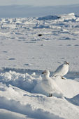 A pair of white snowy plover in Antarctica. — Foto Stock
