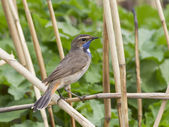 Bluethroat male sitting in the reeds. — Stock Photo