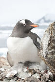 Female and gentoo penguin chicks. — Zdjęcie stockowe