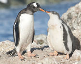 Gentoo penguin chick feeding. — Stockfoto