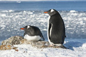 Gentoo penguin couple on the background of the ocean. — Stok fotoğraf