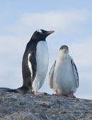 Chicks and female Gentoo penguins. — Stock Photo