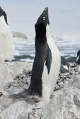 Adult Adelie penguin screaming on the nest. — Stock Photo
