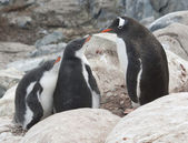 Gentoo penguin family in the rocks. — Stock Photo