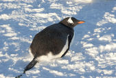 Gentoo penguin lying on the snow. — Stock Photo
